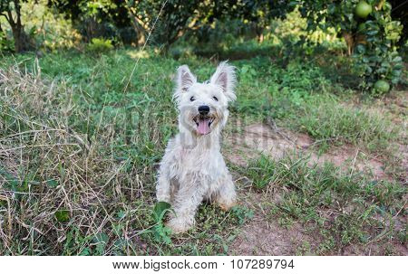 Lovely and happy dirty miniature schnauzer dog in the garden