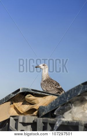 Young herring gull (Larus Argentatus) standing on a garbage container