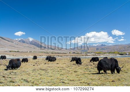 Yaks In Grass Field And Mountains With Blue Sky Background , Sichuan Province, China.