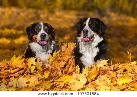 Dog in fall season
