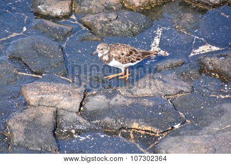 Kentish Plover Water Bird