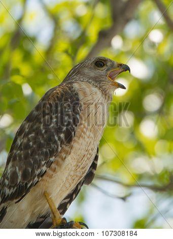 Calling Red-shouldered Hawk