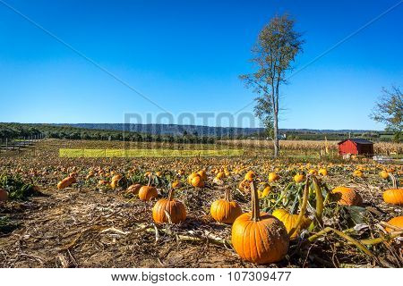 Pumpkin patch at a local farm