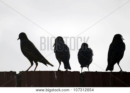 Starlings On A Wall Against White