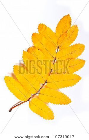 Autumn Rowan Tree Leaf Isolated On White Background