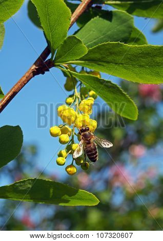 A bee on flowers of barberry