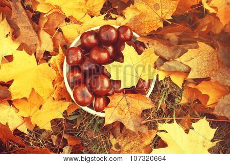 Chestnuts with autumn maple leaves.