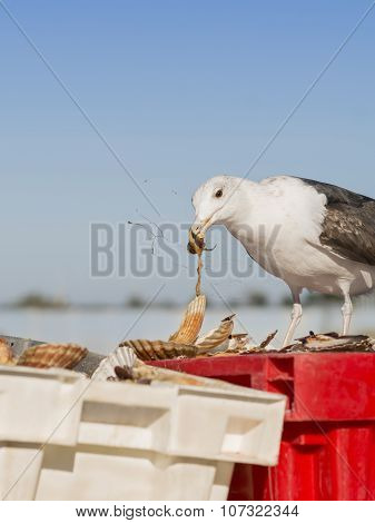 Herring gull (Larus Argentatus) eating a freshly fished scallop