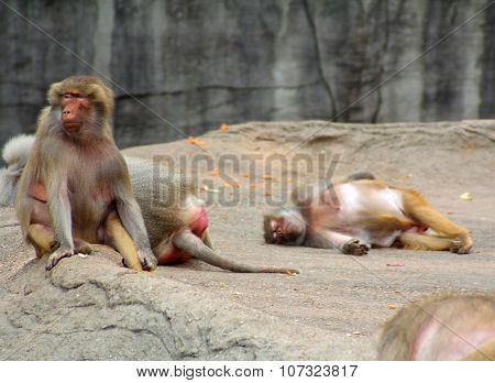 The Image Of The Group Of Monkey.