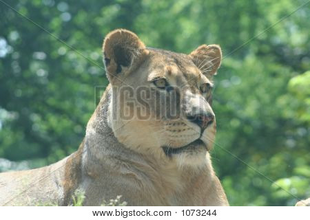 Lions 6