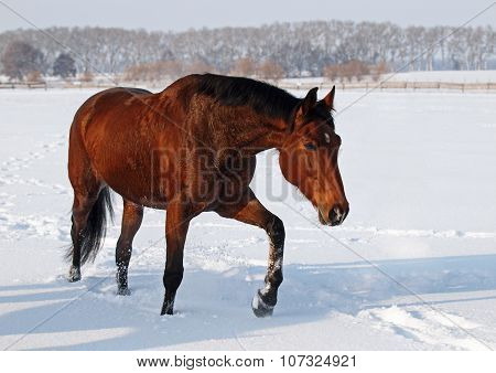A beautiful mare steps on snow field
