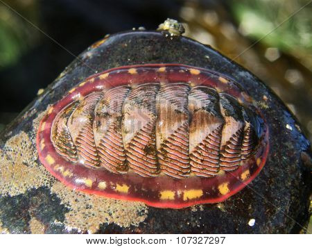 Tonicella lineata, Lined chiton,