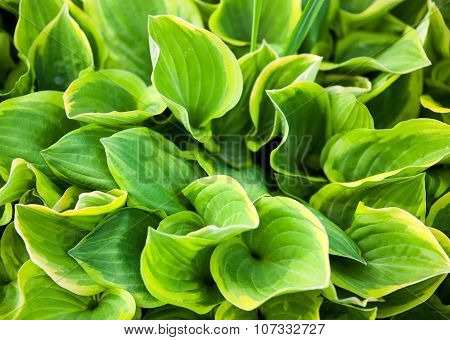 Green Leaves Of Hosta