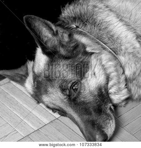Dog Half Asleep