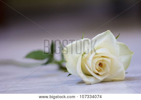 White Beautiful Rose. Fresh Buds Of A Wonderful Aroma.