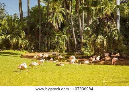 A Flock Of Pink Flamingos Grazing On A Green Meadow Beside The Pond, Loro Parque, Tenerife
