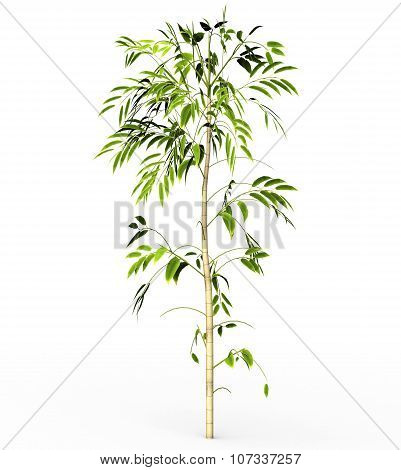 Bamboo Tree Isolated On White