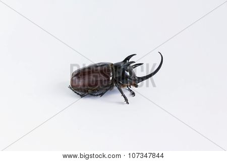 Uncommon and rare stuffing five horns beetles remains  on white background