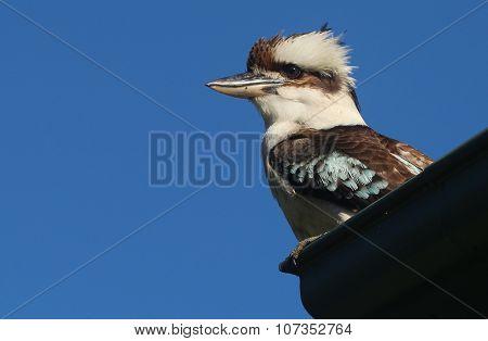 Kookaburra sitting on a roof in Queensland, Australia