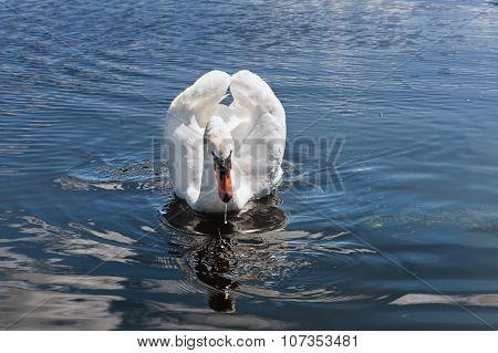Swimming White Swan