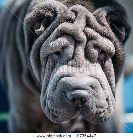 Close up of Blue Shar Pei Dog. Chinese Shar-Pei