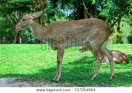 Eld's deer also known as the thamin or brow-antlered deer.
