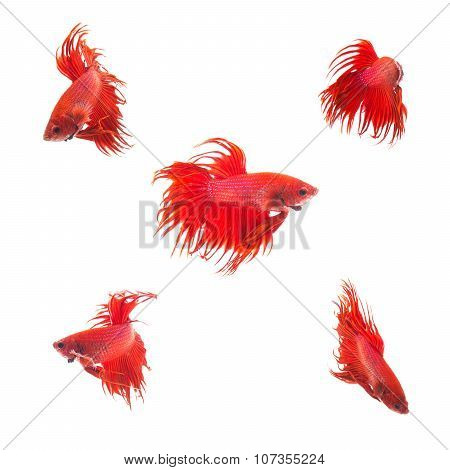 Collection Group Of Orange Red Siamese Fighting Fish, Betta Splendens Fish On White Background