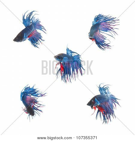 Collection Group Of Blue Siamese Fighting Fish, Betta Splendens Fish On White Background