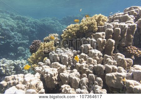 Coral Reef With Porites Corals In Tropical Sea, Underwater