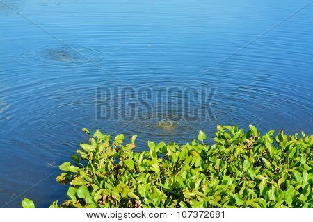 Water Hyacinth ,water Plant Float Over Lake