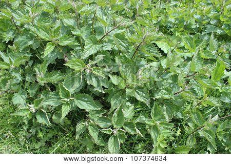 Stinking Nettle (urtica Dioica)