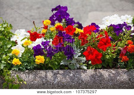 Flowerbed with petunias