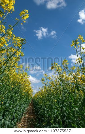 Blooming rapeseed against blue and white sky