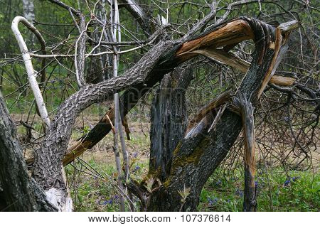 Old Broken Tree In The Forest