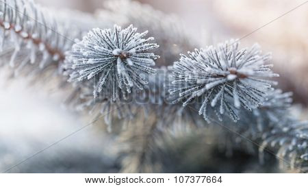 fir branch in hoar frost on cold morning