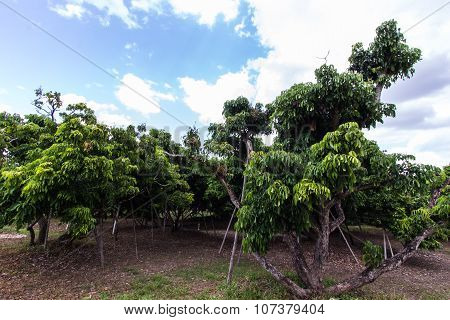 Longan Garden