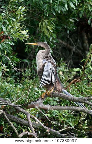 anhinga drying off