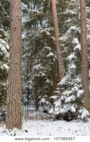 Winter Landscape Of Natural Forest With Pine Trees