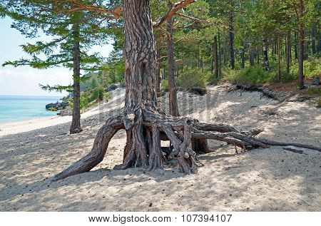 The big pine tree with air roots on the coast of Lake Baikal. Grandmother Bay