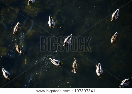 Many Ducks On Water