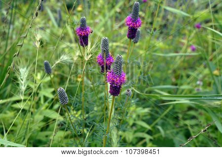 American Vervain