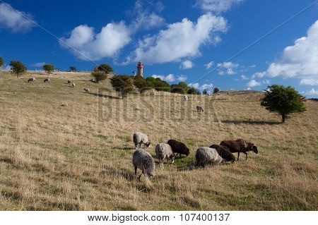 On Pasture At Cape Arcona, Ruegen Island