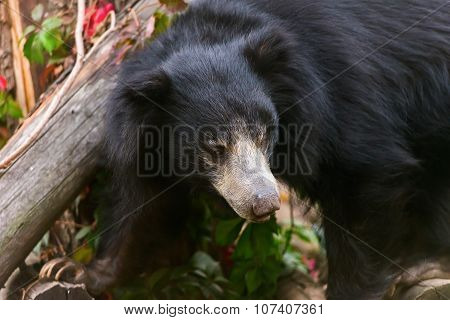 Large Sloth Bear