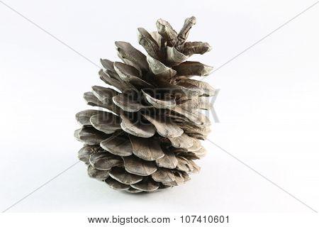 Cones Of Coniferous Trees