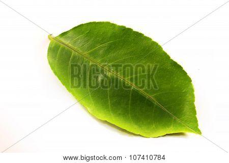 Green Leaf Photographed