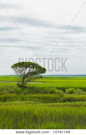 Lone Tree In The Saltwater Marsh