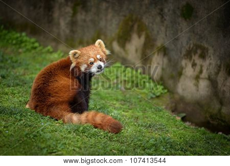 Red Panda Sitting At The Bottom Of A Wall