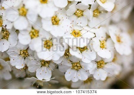 White Spiraea Flowers