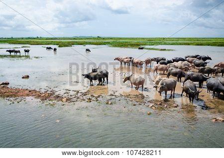 Herd  Buffaloes