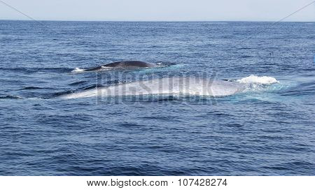 Blue Whale and Fin Whale Traveling Together